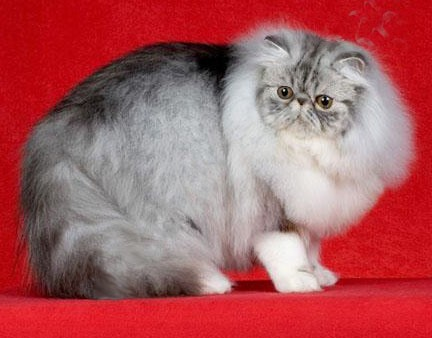Persian Silver Tabby & White Male
