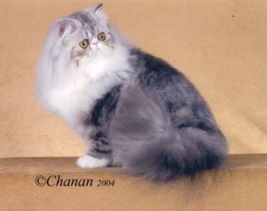 Its All About You Persian Silver Patched Female