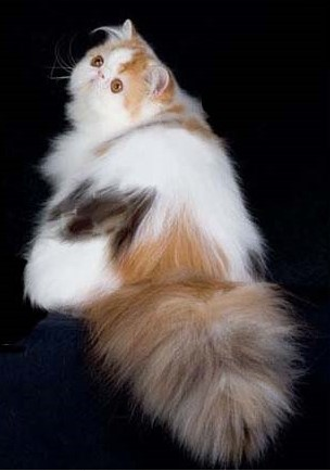 Sands of Time Persian Male Cat